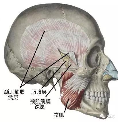 牙医基础知识:口腔颌面部应用解剖生理